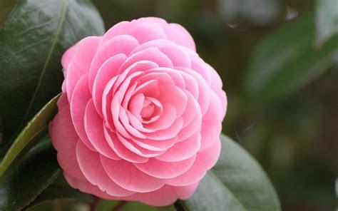 pink rose hd wallpapers