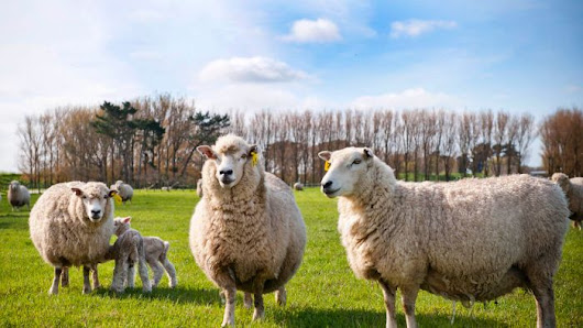 Kiwi scientists breed sheep to fart and burp less