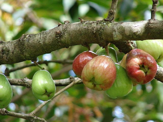 asian, chinese, fruit, rose apple, taiwan, 蓮霧, rose apple, wax apple, tropical fruit,