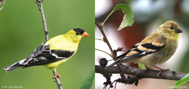 Difference between breeding and non-breeding plumage for a male American goldfinch