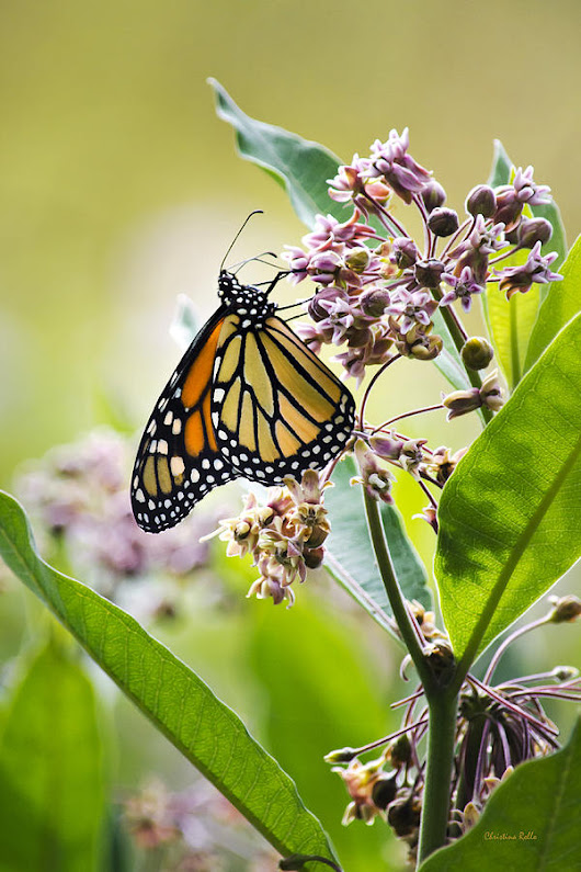 Monarch Butterfly On Milkweed by Christina Rollo