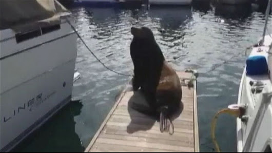 Officials: Sea Lion Pulls Man With Fish Into San Diego Bay - ABC News