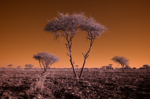 Some thorn trees photographer with my newly infrared converted fujifilm X-T1 camera