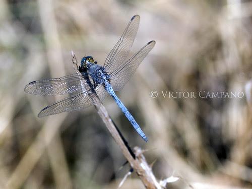 Orthetrum Caerulescens (Blue Dragonfly) by Víctor C.M.