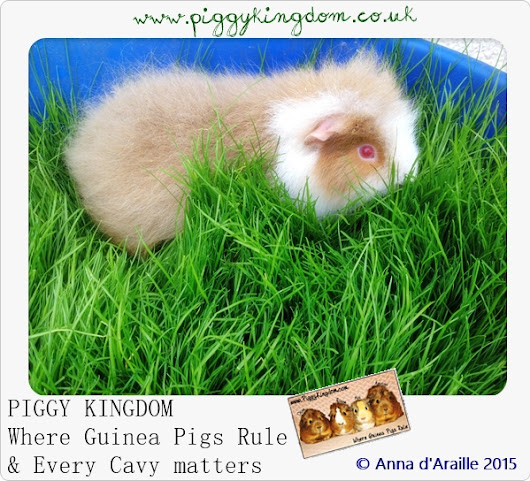 Piggy Kingdom GUINEA PIGS for adoption