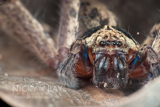 Huntsman Spider (Sparassidae) - DSC_9373