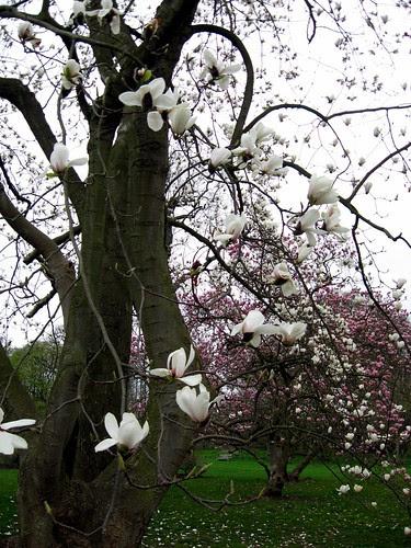 magnolia veitchii alba3