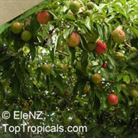 Cornus capitata, Benthamia fragifera, Dendrobenthamia