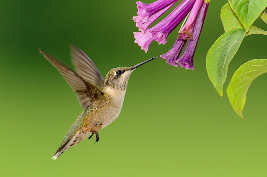 Plants that Attract Hummingbirds | The Old Farmer's Almanac