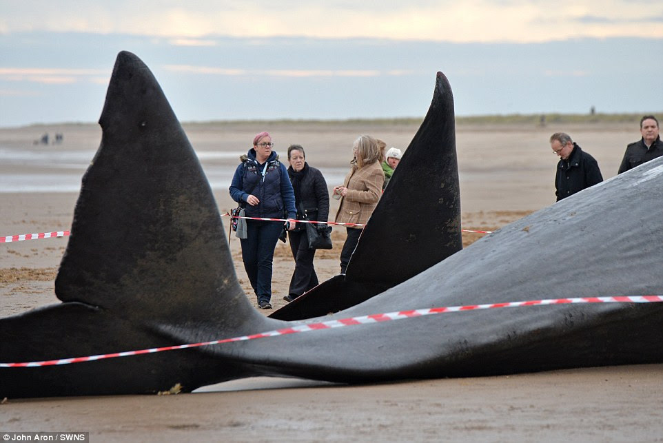 Pictured, the fins of the two giant sperm whales arch up as locals and walkers come by the beach to look at their impressive carcasses