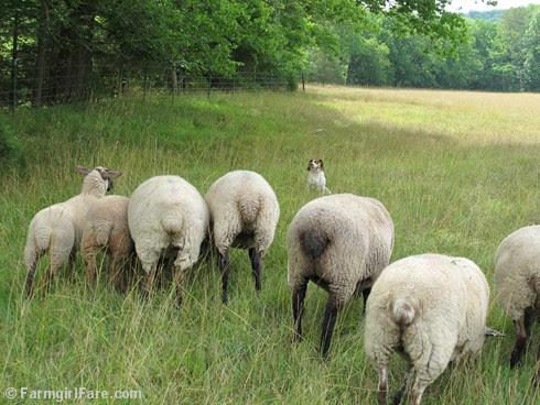 (17) Beagle Bert hanging with the sheep - FarmgirlFare.com