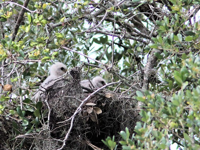 Red-shouldered Hawk chicks 20130414