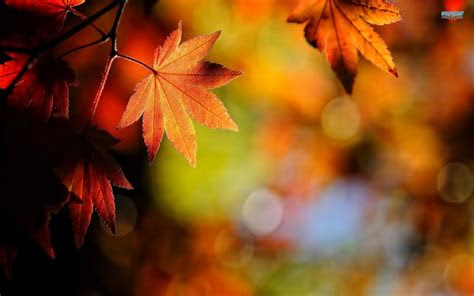 hd crisp autumn leaves wallpaper