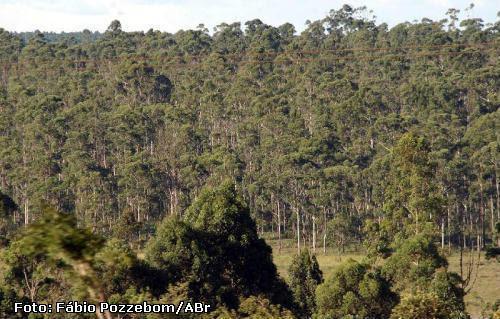 Monocultura de eucalipto. Foto de arquivo