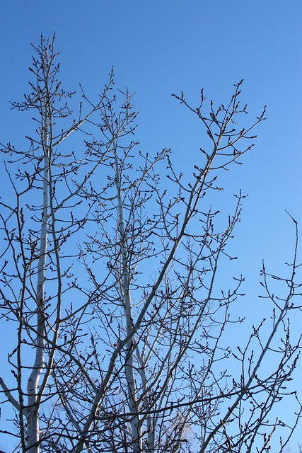 Aspen Trees in January