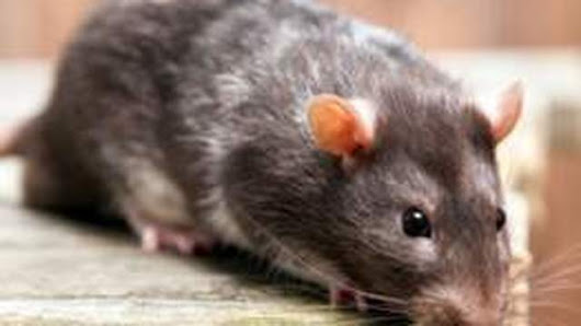 Rat Control Services to Avert a Dozen of Rat-borne Diseases