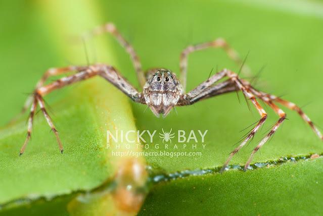 Lynx Spider (Oxyopidae) - DSC_4003