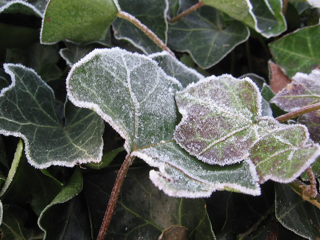 icy ivy 2