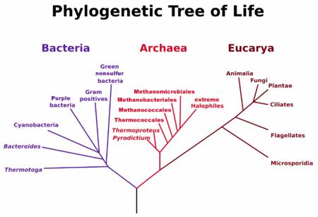 Pohon filogenetik berdasarkan Woese et al. analisis rRNA