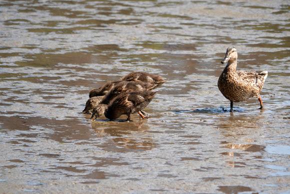 Ed Gaillard: birds &emdash; Ducklings, Spuyten Duyvil Creek