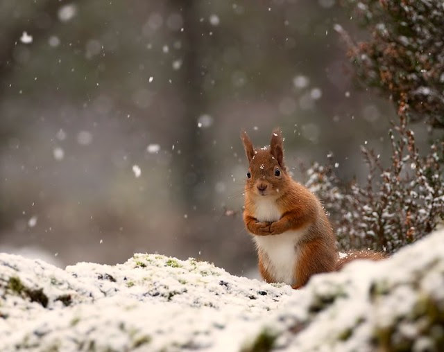Red Squirrel in Snow on mossy tree with hands together