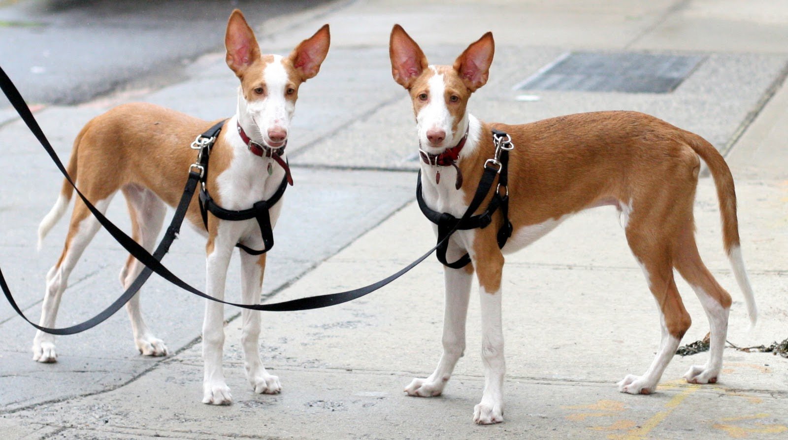 Ibizan Hound Info, Temperament, Training, Diet, Puppies, Pictures