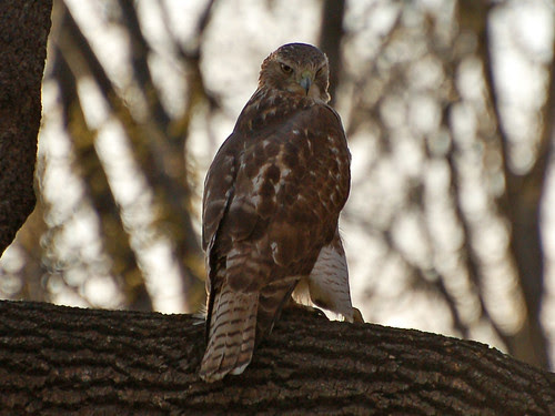 Juvenile Red-Tailed Hawk in Riverside Park