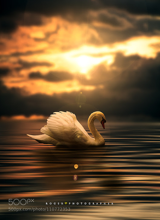 Submitted a swan . by manubili10