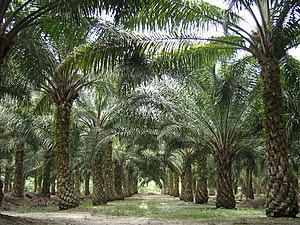 oil palms in malaysia