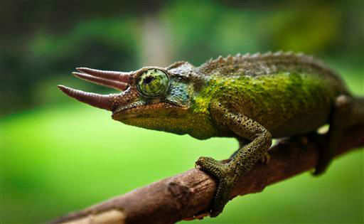 Scientists find 11 chameleon species in Madagascar - The Times of India