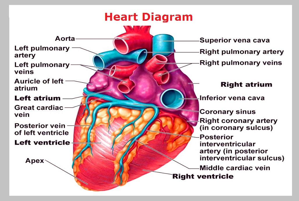 Human Heart Heart Of A Human With Labels Heart Diagram Illustration Of A Human Heart Showing The Following Parts Right Atrium Left Atrium Aorta Left Ventricle Right Ventricle Veins And