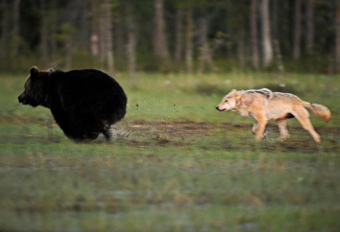 rare-animal-friendship-gray-wolf-brown-bear-lassi-rautiainen-finland-2