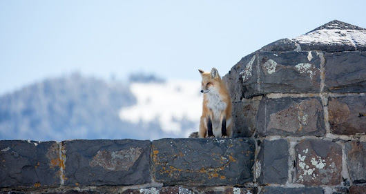 "Yellowstone Forever on Twitter: ""You never know just what you might encounter in #Yellowstone. This fox was spotted tracking a snowshoe hare from atop the Roosevelt Arch. """
