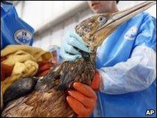 Voluntarios limpian ave contaminada con petróleo en Luisiana