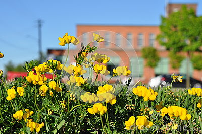 Stock Photo: Yellow Trefoil Against Red Brick