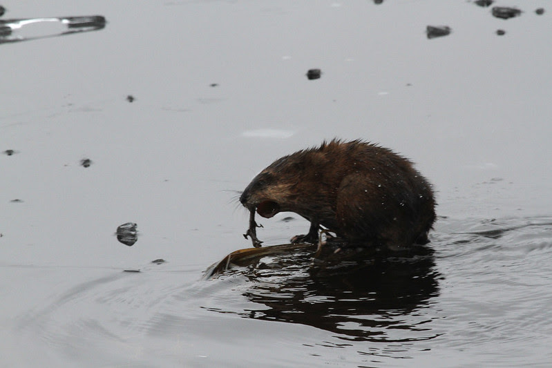 muskrat eating possible newt