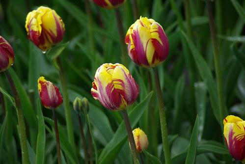 2008-04-19 Tulips etc at Rozengarde (17)