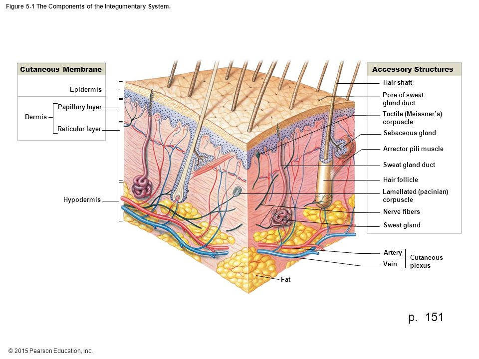 Integumentary System Diagram To Label