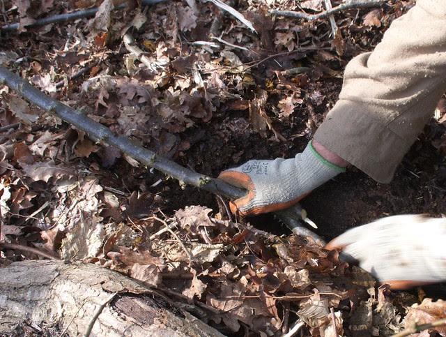 DSC_8156 layering a tree