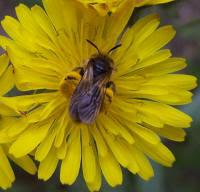 insecte abeille butinant
