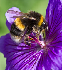 Bumble Bee by Richard Towell, on Flickr