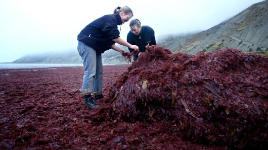 NZ scientists say seaweed cure for methane emissions comes up short |