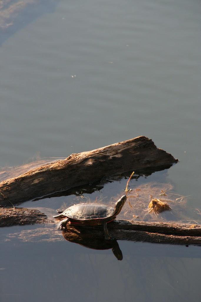 Wandering painted turtles seeking place to lay eggs ...