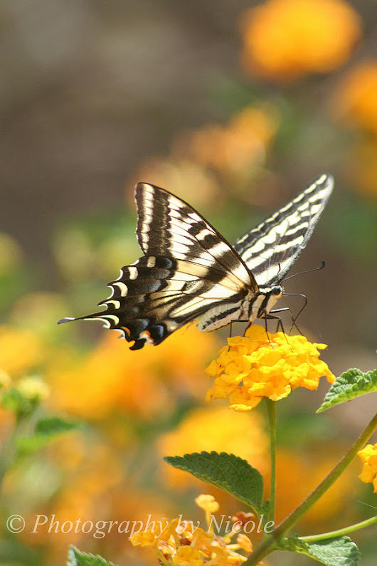 Tiger Swallowtail 4 by Photography by Nicole