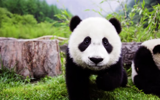Download wallpapers baby panda, Japan, cute animals, bear, panda, forest for desktop free. Pictures for desktop free
