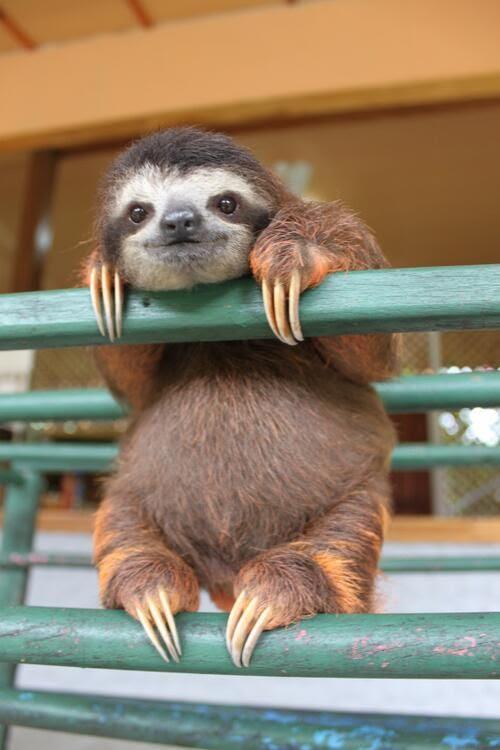 Sloth-Βραδύπους