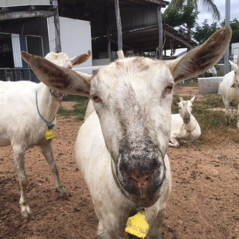 Cheeky nature charms a Queensland goat breeders' club calling to capitalise on increasing demand