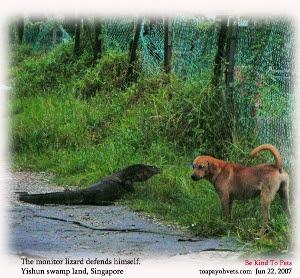 Singapore Yishun swamp land - monitor lizard - Dog - Toa Payoh Vets