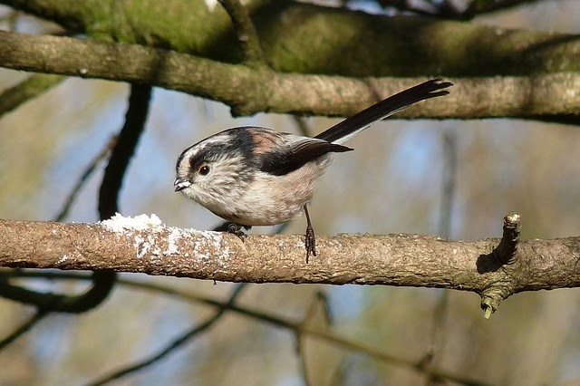 25426 - Long Tailed Tit, Llanelli WWT