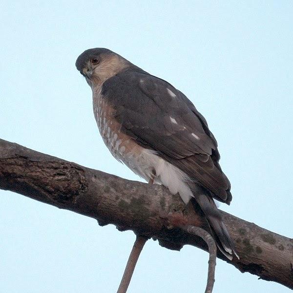 comparison of hawk and falcon A cooper's hawk field marks comparison to similar species cooper's vs sharp-shinned hawks north american accipiters: with permission of jim zipp wwwjimzippcom.